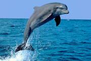 ویدیو تماشایی از حرکات زیبای دلفینها در دریا / فیلم