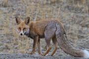 ویدیو دیدنی از آب دادن به یک روباه تشنه توسط دوستدار محیط زیست در طبیعت / فیلم