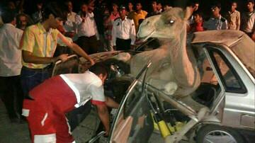 تصادف پراید با شتر ۲ نفر را به کشتن داد! / عکس