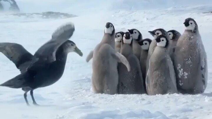 اتحاد جالب پنگوئنها برای دفاع از جوجههایشان در برابر خطر / فیلم