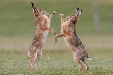 ویدیو دیدنی از دعوای عجیب دو خرگوش در حیاتوحش طارم قزوین! / فیلم