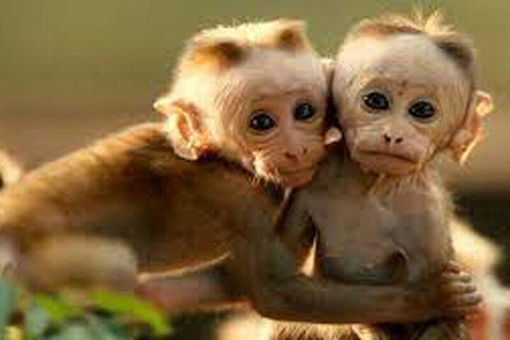 هر آنچه که باید درباره بیماری واگیردار آبله میمون بدانیم