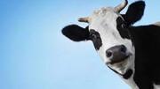 لحظه ورود گاو بازیگوش به فروشگاه مواد غذایی / فیلم