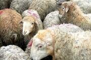 هشدار دامداران نسبت به نایاب شدن گوشت در ماههای آینده