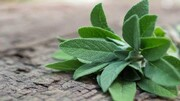 سفیدی دندان، تسکین درد و سمزدایی بدن با مصرف این گیاه