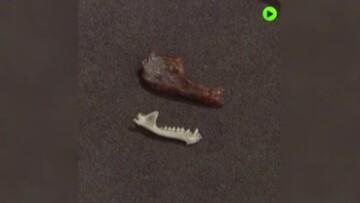 کشف فسیل یک خفاش خون آشام در آرژانتین / فیلم