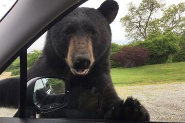 تقاضای جالب و عجیب خرس وحشی گرسنه از ماشینهای گذری برای غذا دادن به فرزندش / فیلم