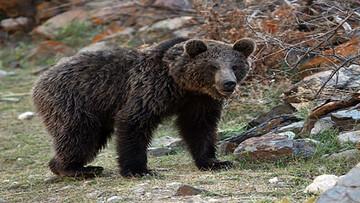 حمله خرس وحشی به یک چوپان در پیرانشهر
