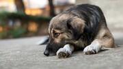 ویدیو ناراحت کننده از دفن توله سگ مرده توسط مادرش / فیلم