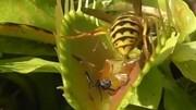 بلیعده شدن زنبور عسل توسط گیاه گوشت خوار / فیلم