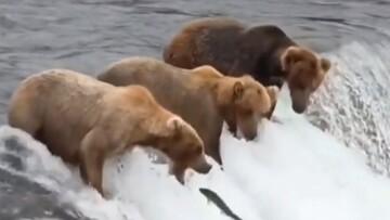 لحظه جالب صید ماهرانه ماهی توسط خرسهای قهوهای / فیلم