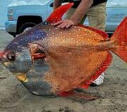 صید ماه ماهی نایاب و غولپیکر ٢٧٢ کیلویی / عکس