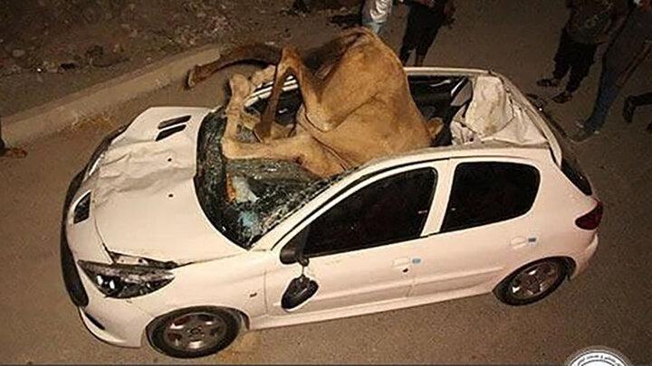 تصاویری دلخراش از تصادف مرگبار ۲ شتر با پژو ۲۰۷
