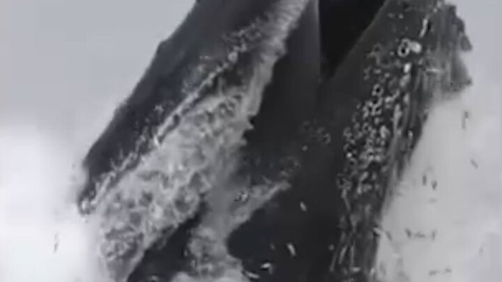 ویدیو جالب از لحظه صید ماهی توسط نهنگ کوهاندار
