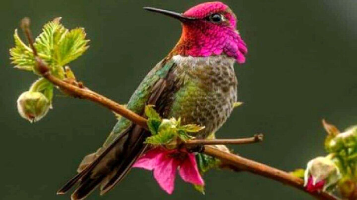 عجیبتترین و زیباترین پرنده جهان که مدام تغییر رنگ میدهد / فیلم