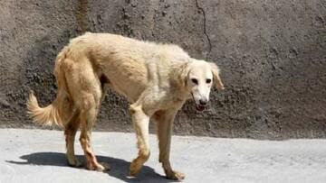 حمله دسته جمعی سگهای ولگرد در بانه / دو کودک به شدت مصدوم شدند