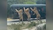 عجیبترین باغ وحشی دنیا که در آن حیوانات آزاد و انسانها در قفس هستند / فیلم
