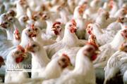 مرغها گرسنه ماندهاند!