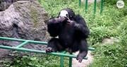 رعایت پروتکلهای بهداشتی توسط شامپانزه / فیلم