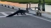 اقدام جالب تمساح هنگام عبور از خط عابر پیاده / فیلم
