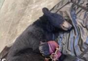 تخلیه فروشگاه در آمریکا به دلیل ورود غیرمنتظره خرس / فیلم