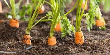 قیمت هویج از ۲۰ هزار تومان گذشت/ علت افزایش عجیب قیمت هویج چیست؟