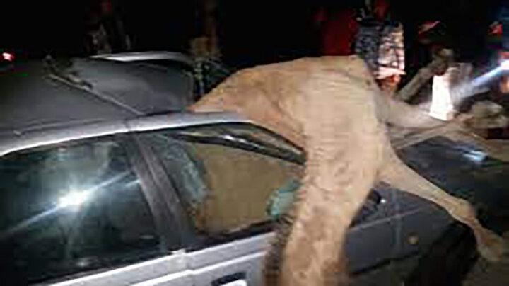 تصادف مرگبار پژو ۴۰۵ با شتر در سیریک