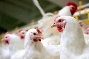 ۹ تن مرغ بدون مجوز در صومعهسرا توقیف شد