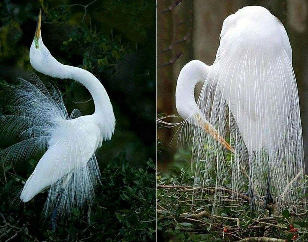 عکس دیده نشده از زیباترین پرنده جهان با لباس عروس دنبالدار!