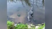 ویدیو بامزه از دزدیدن غذای تمساح توسط لاک پشت زرنگ / فیلم