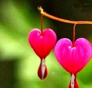عجیبترین گل جهان شبیه به قلب که از آن خون می چکد! / عکس