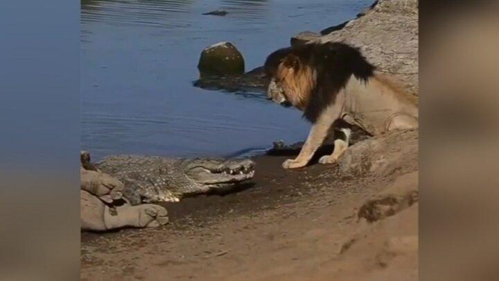 ترس سلطان جنگل از حمله کروکودیل / فیلم