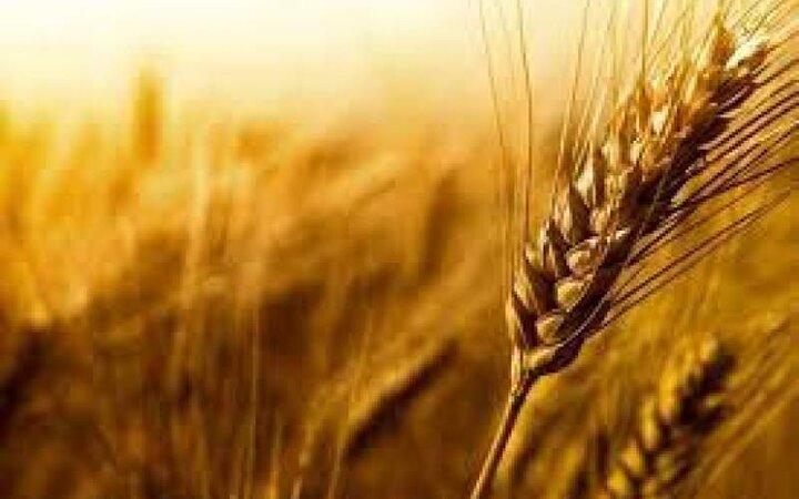 قیمت خرید تضمینی هر کیلوگرم گندم اعلام شد