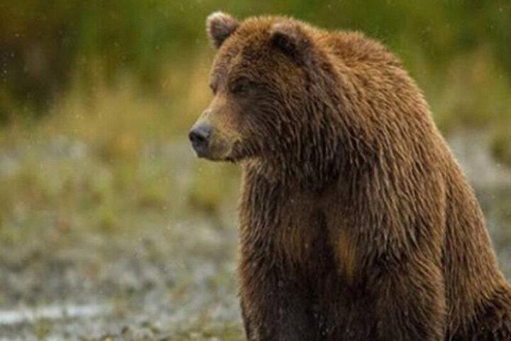 ویدیو دیدنی از غذاخوردن خرسقهوهای به همراه دو تولهاش