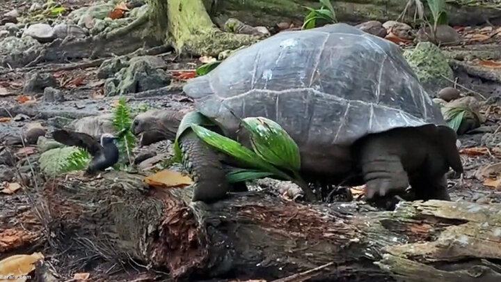ویدیو غمانگیز از لحظه شکار جوجه پرنده توسط لاکپشت گرسنه!