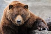 خرس غولپیکر با این خوراکی عجیب خود را سیر میکند! / فیلم