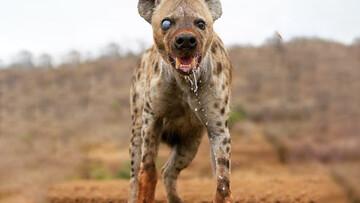 دزدیدن شکار پنج یوزپلنگ توسط کفتار گرسنه / فیلم
