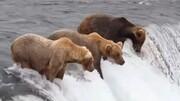 ویدیو جالب و تماشایی از شکار ماهی توسط خرس بر روی آبشار