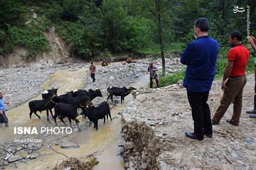 ویدیو دلخراش از گیرافتادن حیوانات در سیلاب وحشتناک استان گلستان