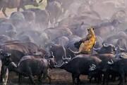 حمله گله بوفالوها به شیر ماده / فیلم