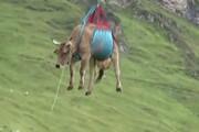 لحظه نجات گاو پاشکسته هلیکوپتر سوار در سوئیس / فیلم
