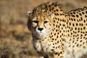 وضعیت بحرانی یوزپلنگ ایرانی / تنوع ژنی این گونه در حال انقراض است