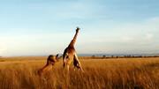 ویدیو غمانگیز از حمله شیر به زرافه / فیلم