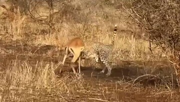 شکارشدن ایمپالا توسط یوزپلنگ گرسنه | هجوم کرکسها برای خوردن باقیمانده غذا / فیلم
