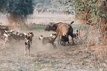 حمله گله سگهای وحشی به بوفالوی ماده / فیلم