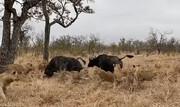 کمک گاومیشها به همنوع خود که در چنگال گله شیرها گرفتار شده بود! / فیلم