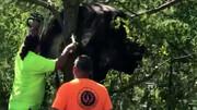 نجات گاو گرفتار در میان شاخه های درخت / فیلم