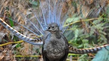 پرندهای عجیب که صدای گریه نوزاد را تقلید می کند / فیلم