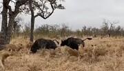 دفاع جانانه بوفالوها به همنوع خود در مقابل حمله گله شیرها / فیلم