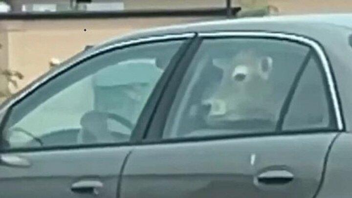 سوار کردن عجیب گاو روی صندلی عقب خودرو! / فیلم